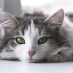 【獣医師監修】猫の免疫とは? 免疫力が下がるとどうなるの?