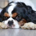 【獣医師監修】犬のリンパ腫は良性悪性ってあるの?完治はできる?
