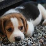 【獣医監修】犬の癌の中で発症しやすい扁平上皮癌を徹底解説