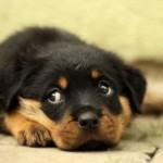 【獣医師監修】犬の乳腺腫瘍 胸のしこりは良性?悪性?原因から治療法まで解説
