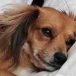 【獣医師監修】愛犬が急性腎不全に!原因・治療法について徹底解説