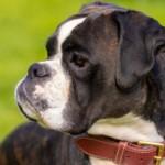 【獣医師監修】犬の皮膚癌に多い 肥満細胞腫の原因・症状・治療について