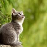 【獣医師監修】猫のエイズについて 原因・症状・治療法を徹底解説