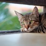 【獣医師監修】猫白血病ウイルス感染症  余命・症状・治療法を徹底解説